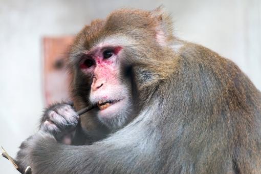 ニホンザル サル さる 猿 奥歯 物が挟まる 爪楊枝 詰まる 挟まる お口のケア ハブラシ 歯磨き 歯磨 ハミガキ アップ