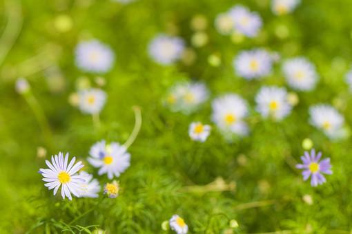 自然 風景 環境 植物 花 草花 観葉 手入れ 栽培 世話 水やり 植える 育てる ベランダ 庭 林 公園 花壇 癒し 咲く 開花 成長 土 観察 アップ 白 菊