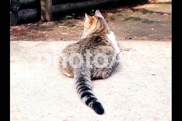 野良猫4 ねこの後ろ姿の写真