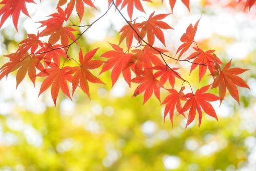 あでやか あざやか 朱 美しい 和 12月 朱色 テクスチャ 植物園 もみじ狩り レジャー オレンジ 椛 紅 小道 散歩 観光 11月 公園 屋外 外 野外 風景 景色 樹木 葉っぱ かえで カエデ 赤色 オレンジ色 色づく アップ クローズアップ 鮮やか カラフル 背景 自然 壁紙 彩り 背景素材 日差し 木漏れ日 ポストカード 光 キラキラ モミジ 季節 植物 コピースペース 枝 和風 紅葉狩り 落葉 日本 紅葉 もみじ 楓 赤 黄色 葉 木 秋 晩秋 陽だまり 午後