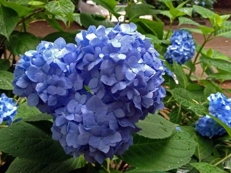 紫陽花 あじさい アジサイ 花 花びら 雨 雫 葉 緑 梅雨時 六月 水無月 涼 青