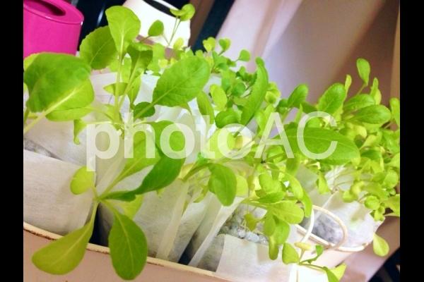 家庭菜園の小松菜の写真