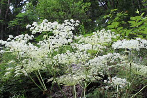 植物 樹 木 樹木 緑 自然 屋外 風景 景色 沢山 群生 公園 葉っぱ 葉 茂る 生い茂る 生える 花 白い花 茎 レースフラワー 細かい 小さい 花びら 花弁