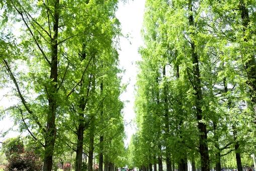 自然 風景 植物 樹木 木の葉 葉っぱ メタセコイア 並木 新緑 若葉 新芽 初夏 夏 五月・六月 光透過光 大空に向かって 森林 公園 緑の葉っぱ 季節感 暑中見舞い ポストカード コピースペース バックスペース 背景 野外アウトドア みずみずしい たくましい まっすぐ 姿勢がいい 元気いっぱい テクスチャー マイナスイオン 木陰 木漏れ日