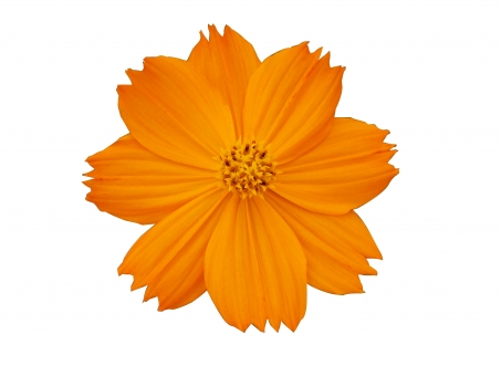 オレンジコスモスの写真