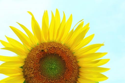 ひまわり ヒマワリ 向日葵 夏 真夏 太陽 お日様 お日さま 笑顔 微笑み ほほえみ 花 植物 花びら 黄色 黄 yellow イエロー 背高 ノッポ のっぽ 日差し 陽射し 明るい 強さ 自然 風景 景色 景観 壁紙 背景 テクスチャ 素材 green グリーン ミドリ 緑 緑色 みどり 茶色 茶 brown ブラウン 爽やか 爽快 鮮やか 艶やか 優しい 優しさ 大らか おおらか 朗らか ほがらか はっきり ハッキリ くっきり クッキリ すっきり スッキリ 大きい でかい 大輪 夏の代表花 夏の花 涼やか 涼しさ 涼 クローズアップ 晴れ 快晴 晴天 青空 青い 青色 水色 空色 blue ブルー 青い空