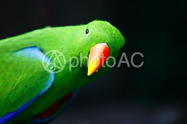 緑のオウム1の写真