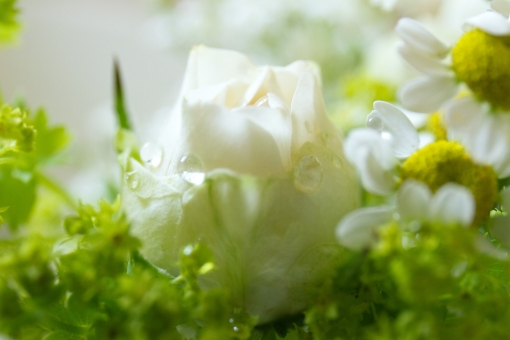 グリーン 緑 植物 自然 花 バラ ばら 薔薇 華やか 豪華 ゴージャス エレガント 可愛い かわいい 可憐 ローズ 白 白薔薇 白バラ カモミール ハーブ 観葉植物 ブーケ 花束 背景 壁紙 水滴 クローズアップ 清楚