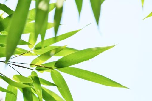 笹 笹の葉 葉 リーフ leaf 緑 緑色 green グリーン 植物 癒し 自然 風景 壁紙 背景 テクスチャ 素材 景色 晴天 快晴 晴れ 涼しさ 涼 青い 青い葉 若い 若い葉 若葉 若葉色 細長い 長い 七夕 七月七日 爽やか 涼しい 優しい 若々しい さらさら サラサラ