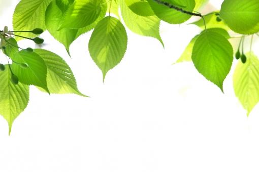 自然・風景 植物 樹木 木の葉 葉っぱ 若葉 新緑 新芽 春・夏 初夏 四月・五月 六月・七月・八月 暑中見舞い 光を浴びて 光溢れる 光透過光 緑の葉っぱ エコ・環境 待ち受け画面 ポストカード コピースペース 背景 野外アウトドア 森・林・公園 みずみずしい 木漏れ日 季節感 バックスペース