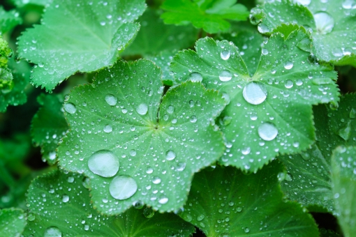 植物 葉 葉っぱ 園芸 雨上がり 露 しずく 朝露 夜露 結露 エコロジー 自然 風景 アップ 接写 ミクロの世界 ボケ味 雨 水滴 水玉 梅雨 6月 6月 グリーン みどり 緑 雨粒 エコ 環境 弾く はじく 雨水 水