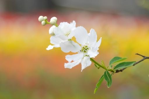 リキュウバイ 利休梅 春 樹木 カラフル 白 ピンク 黄色 植物 木 背景 壁紙 可愛い かわいい 綺麗 きれい 美しい 和 和風 日本 自然 庭 庭木 公園 マクロ クローズアップ アップ 可憐