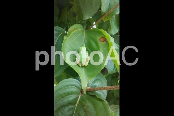 葉っぱと蛙の写真