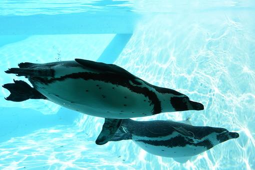 ペンギン 動物 トリ とり 鳥 鳥類 動物園 水族館 水 水中 プール 生き物 白 黒 くちばし 光り 水色 ブルー 伸びる 進む 泳ぐ 潜る アップ クローズアップ かわいい