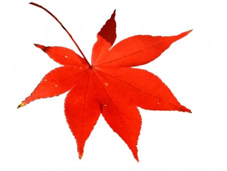 紅葉 椛 モミジ もみじ 葉っぱ autumn 秋 オータム 切取 切り抜き かえで カエデ 楓 秋素材 秋の素材 紅葉素材 もみじ素材 チラシ素材 web素材 テクスチャー テクスチャ 落ち葉 落葉 枯れ葉 枯葉