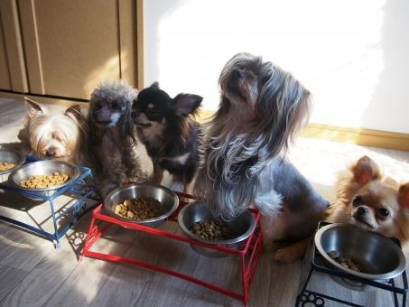 犬 5匹 ご飯 チワワ トイプー ヨーキー
