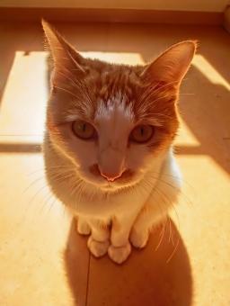 猫 ねこ ネコ 茶白 日向ぼっこ カメラ目線 日差し ポカポカ あったまる 日向 目を開けた 見つめる 座る 座った 顔 表情 オレンジ 光 ピンクの鼻 かわいい 家猫 飼い猫 室内猫 ペット 動物 生き物 白いひげ 1匹 にゃらん 和み