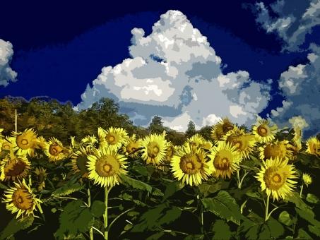 向日葵畑 ヒマワリ畑 ひまわり畑 ひまわり ヒマワリ 向日葵 花 黄色い花 夏の花 植物 夏の植物 季節感 seasonimage シーズンイメージ 花弁 花びら 青空 晴天 快晴 農業 農地 農耕地 農作物 農産物 自然 緑 夏 夏景色 夏の風景 夏の風物詩 雲