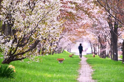 桜 サクラ さくら 櫻 SAKURA 春の花 四月の花 5月の花 ピンクの花 桜画像 桜がきれい 日本のサクラ 散歩 犬の散歩 Cherry Blossoms