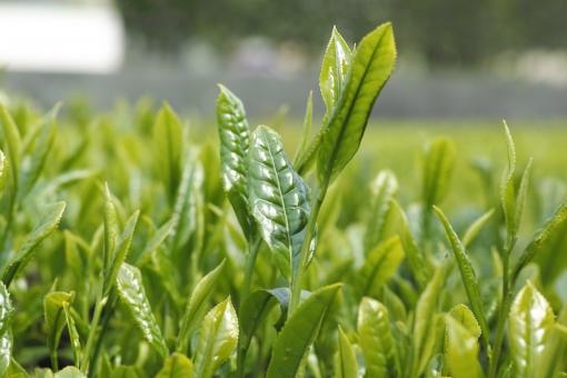 茶畑 新芽 若葉 初夏 茶 新茶 greentea 煎茶 緑茶 せん茶 日本茶 和 茶の芽 芽 八十八夜