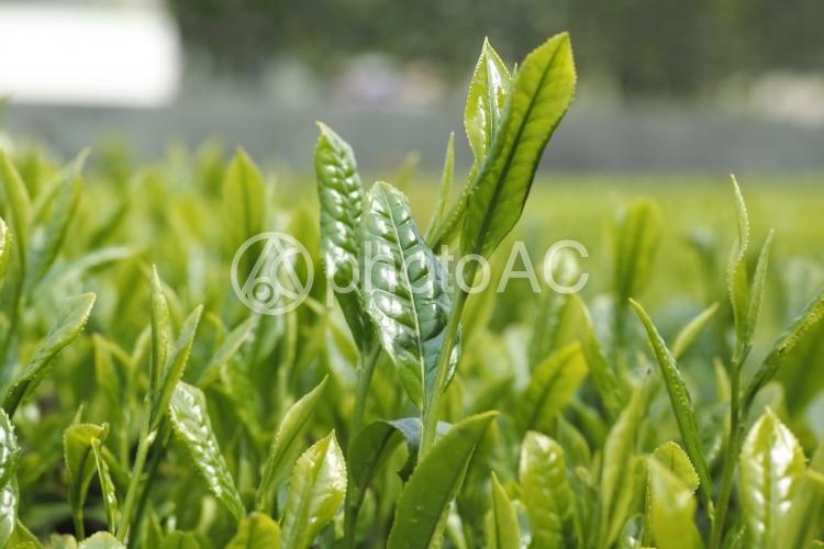 お茶の新芽の写真