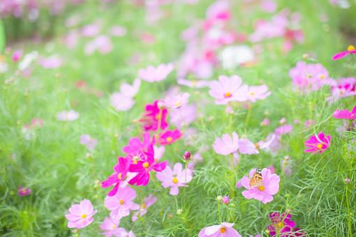 秋の風景 コスモス アキザクラ 秋桜 蝶 蝶々 昆虫 コスモス畑 花畑 花園 桃色 ピンク 白 緑 植物 花 葉 草花 一面 満開 散歩 散策 自然 風景 景色 真心 のどか 鮮やか 華やか 美しい 綺麗 明るい ボケ味 ピントぼけ