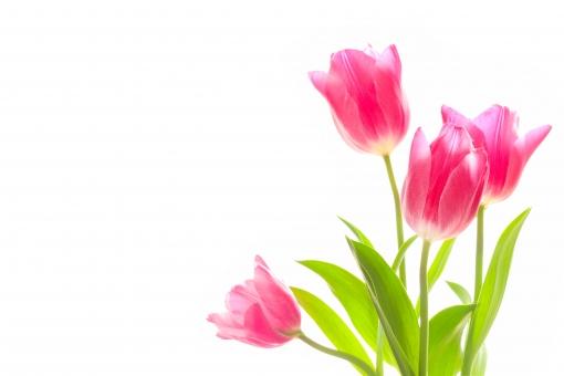 チューリップ 花 お花 白バック 春 3月 卒業 卒業式 別れ 門出 春の花 赤い花 ワンポイント 透明感 逆光 素材 写真素材 キレイ 綺麗 きれい 植物 かわいい 可愛い 背景 背景写真 背景素材 バックグラウンド バック ホワイトスペース 壁紙