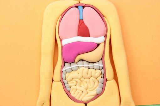 クレイアート アート 芸術 作品 作る 粘土 模型 デフォルメ 人物 人体 人間 人体模型 内臓 胃 腸 大腸 小腸 肺 心臓 血管 食道 肝臓 サイエンス 医療 医学 科学 教育 生命 構造 解剖 研究 白背景 室内 屋内