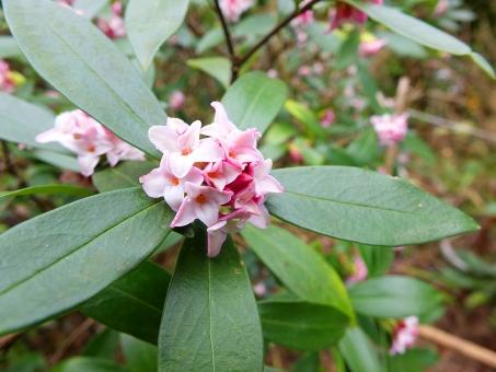 沈丁花に関する写真写真素材なら写真ac無料フリーダウンロードok