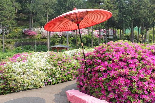 三室戸寺 京都 宇治 花 つつじ ピンク 桃色 紫 白 緑 庭園 木 植物 自然 風景 景色 春 観光 観光地 旅行 見物 見頃 花見 満開 綺麗 鮮やか 休憩 和傘