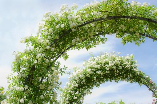 植物 自然 花 バラ ばら 薔薇 華やか 豪華 ゴージャス エレガント ローズ ローズガーデン 背景 壁紙 バラ園 薔薇園 花園 庭 公園 ブライダル ウエディング 結婚式 結婚 つるバラ 蔓バラ 蔓薔薇 明るい アップ クローズアップ 柔らかい ソフトフォーカス トンネル アーチ 青空 白 白薔薇 白バラ