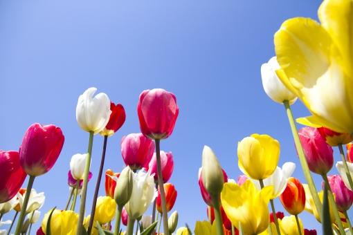 チューリップ 自然 植物 花 春 赤 黄 白 青空 鮮やか 華やか  爽やか 景色 風景 満開 咲く 元気 五月晴れ