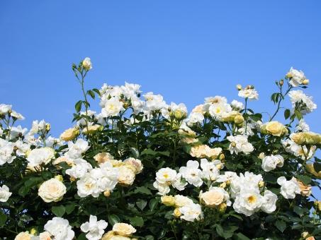 バラ 薔薇 バラ園 花 棘 刺 白い薔薇 白薔薇 白バラ 植物 空 青空 快晴 晴天 青 ブルー 屋外