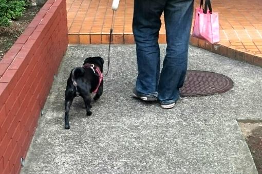 犬 いぬ イヌ 散歩 しつけ 歩く パグ 黒パグ 小型犬 リード ペット 動物 男性 人物 散歩姿 後姿 うしろ姿 犬の散歩 日常 コミュニケーション 日課 マナー 仲良し 家族 walk pug dog 屋外 躾 飼い主
