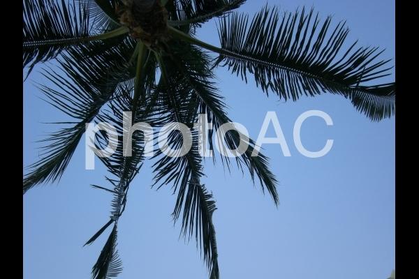 ヤシの木と青空の写真
