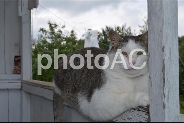 偉そうな猫のマくシックの写真