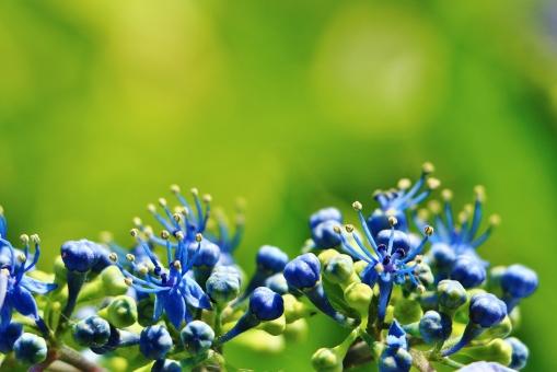 紫陽花 アジサイ 花 蕾 植物 六月 梅雨 可愛い 綺麗 青い 青色 ブルー 風景 背景 スナップ グリーン