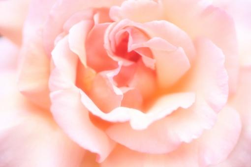 花びら 光 キラキラ 園芸 おめでとう バックグラウンド フラワー 爽やか happy birthday 背景デザイン 自然 コーラル コーラルピンク イエロー 黄色 黄 淡い ソフト ピンク パステルカラー ナチュラル 幸せ 春 薔薇 バラ ばら プレゼント フラワーアレンジ 贈り物 ギフト お祝い 結婚 母の日 誕生日 ウェディング カード メッセージ バースディカード 背景 壁紙 花 植物 初夏 5月 記念日 メッセージカード 可愛い かわいい 優しい やわらかい バレンタイン バレンタインデー ホワイトデー 背景素材 素材 rose rosa ローズ フレーム コピースペース スペース テキストスペース