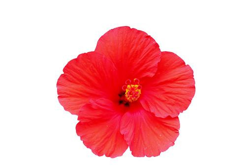 花 夏 ハイビスカス  植物 フラワー 種子植物 花弁 花びら 生花 白背景 白バック ホワイトバック 繊細な美 新しい恋 6月 7月8月9月開花 赤 レッド 南国 赤い花 ブッソウゲ 仏桑花 熱帯