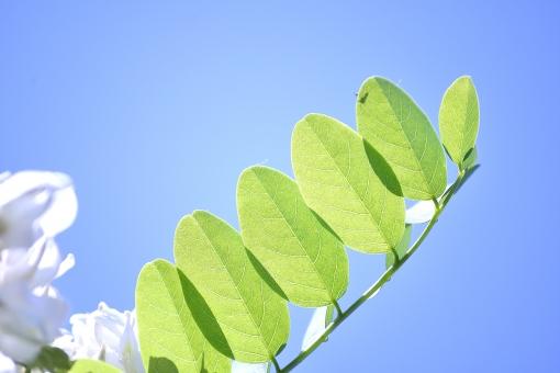 白い花 透過光 ひかり 影 若葉 新芽 茎 自然 植物 風 そよ風 波 空気 流線 木漏れ日 木洩れ日 太陽 日 黄緑 新緑 明るい 山 林 葉っぱ 木の葉 木葉 はっぱ 爽やか 木の枝 小枝 風景 木 樹木 森 グリーン エコ エコロジー 環境 eco eco 森林 森林浴 森林セラピー いやし リラックス リラクゼーション やすらぎ 安らぎ マイナスイオン 健康 美容 背景 背景素材 テクスチャ テクスチャー バックグラウンド 5月 6月 7月 8月 9月 10月 夏 緑 春 初夏 癒し きらめき キラメキ 優しさ やさしい 優しい