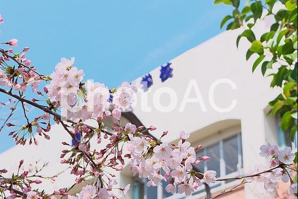 桜の木と学校の写真