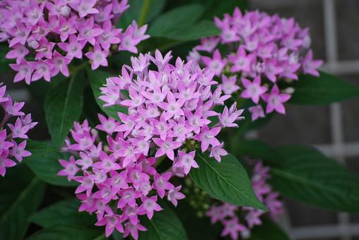 ペンタス 草山丹花 花 アカネ科 星型 いっぱい 紫 植物 野外 ガーデン 庭 花壇 クササンタンカ 枝先に咲く 開花 温暖 一年草 願い事 熱帯 満開 フラワー 自然 パープル はな フラワー