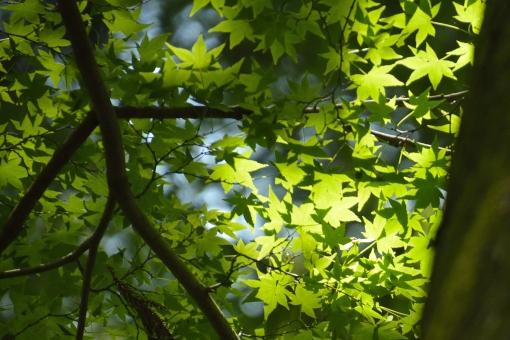 もみじ モミジ 青モミジ 青もみじ 光 透過 爽やか 初夏 空 清々しい 植物 枝 樹 影 陰影