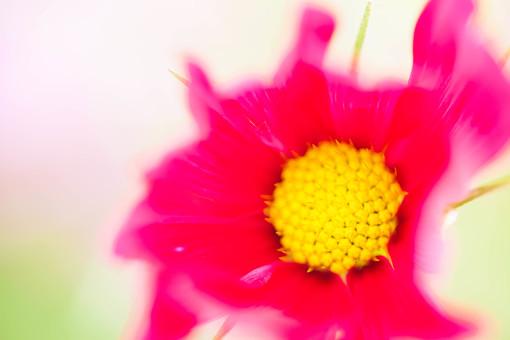 秋の風景 コスモス アキザクラ 秋桜 花畑 花園 ピンク 赤 黄色 アップ 接写 花びら 花弁 雄しべ 一輪 植物 花 草花 散歩 散策 自然 風景 景色 真心 のどか 鮮やか 美しい 綺麗 明るい ボケ味 ピントぼけ ぼかし