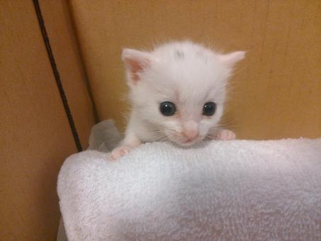 白い子猫の写真