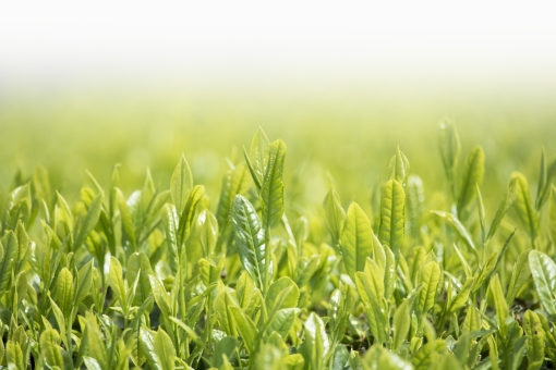 茶 日本茶 煎茶 茶葉 新緑 若葉 新芽 greentea green tea 緑 お茶 芽吹き 萌葱色 八十八夜