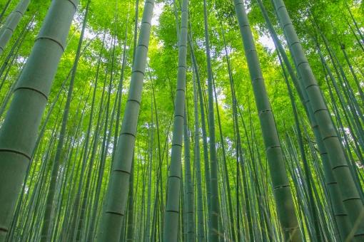 京都 嵐山 竹林 竹 青 群生 自然 木漏れ日