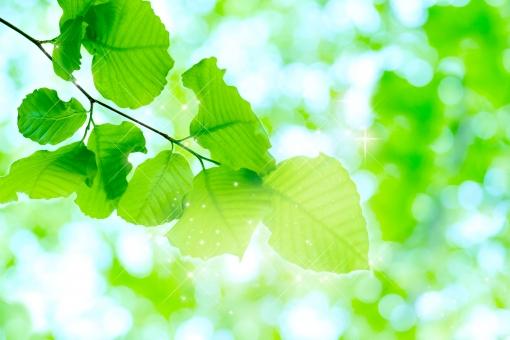 ブナ ぶな 山毛欅 山毛欅林 ブナ林 ぶな林 葉っぱ 木の葉 木葉 はっぱ 木の枝 小枝 自然 風景 木 樹木 森 植物 緑 グリーン エコ エコロジー 環境 ECO eco ECO 森林 森林浴 森林セラピー 癒し いやし リラックス リラクゼーション やすらぎ 安らぎ マイナスイオン 健康 美容 背景 背景素材 テクスチャ テクスチャー バックグラウンド 5月 夏 緑 春 初夏 癒し きらめき キラメキ 優しさ やさしい 優しい 揺らぎ 風 空気 そよ風 流線 バックイメージ グラデーション 玉ぼけ