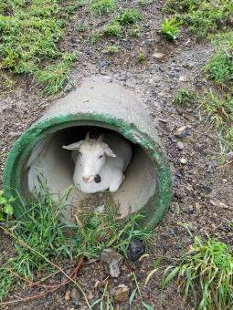 雨宿りするヤギの写真