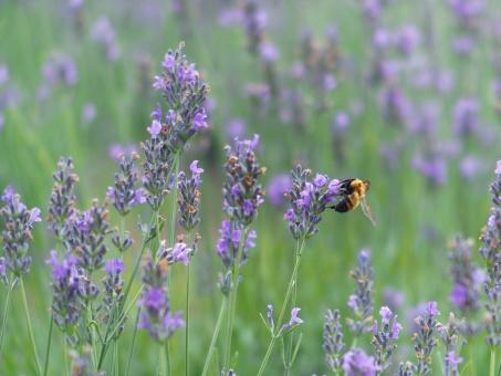ラベンダー 蜂 ミツバチ 花 草花 アロマ 風景 屋外 夏 7月 夏の花 紫の花 自然 緑 グリーン ラベンダー畑
